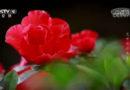 《花开彩云南》:高山杜鹃