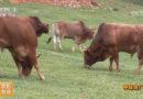 《美丽中国乡村行》:神秘的广南高峰黄牛