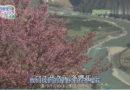 上野树理云南之行,寻找野生樱花独特的魅力